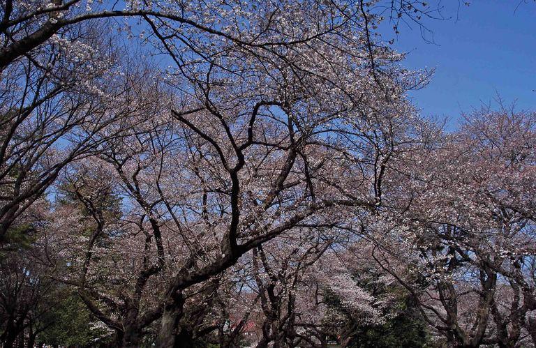 小金井公園春の花_9.jpg