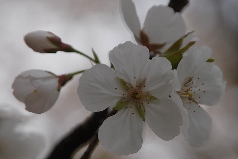小金井桜3_1.jpg