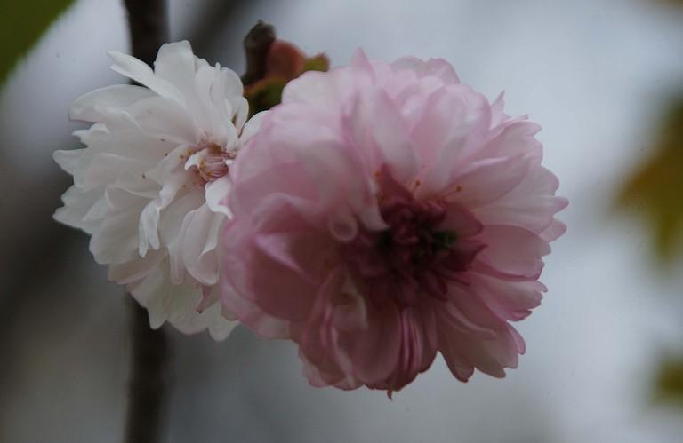 小金井桜3_12.jpg