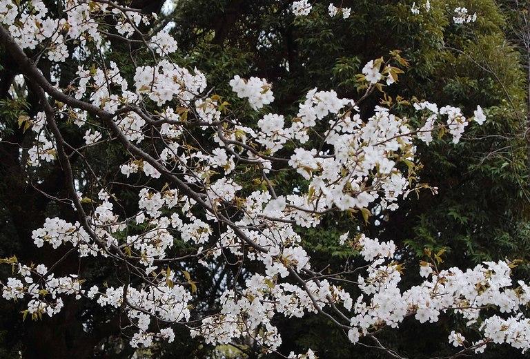 小金井桜3_14.jpg