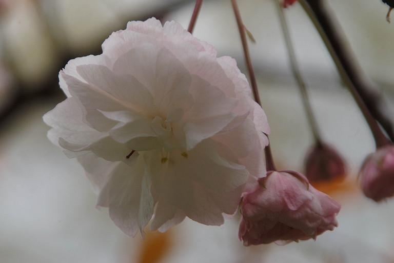 小金井桜3_2.jpg