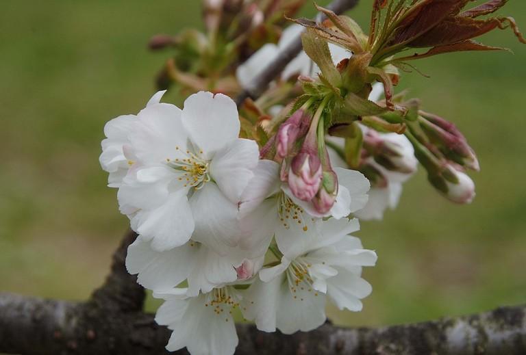 小金井桜3_3.jpg