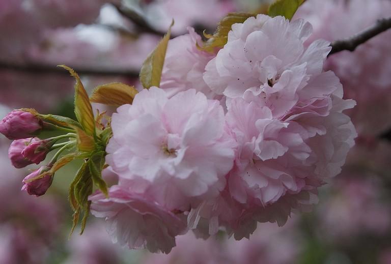 小金井桜3_4.jpg