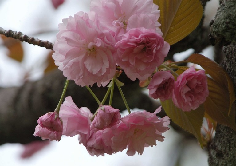 小金井桜3_6.jpg