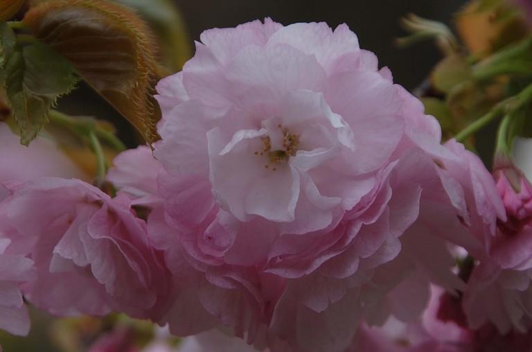 小金井桜3_8.jpg