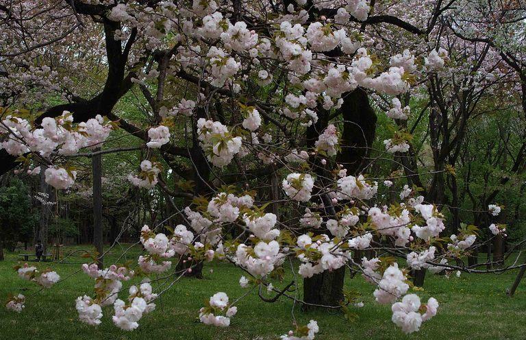 小金井桜3_9.jpg