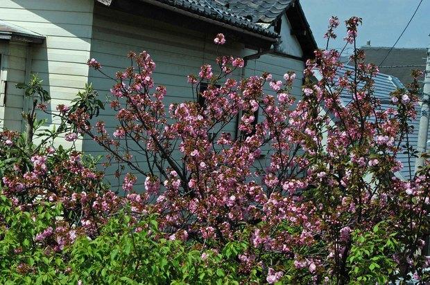 庭の八重桜_1.jpg