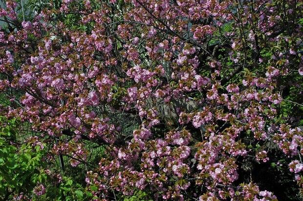 庭の八重桜_2.jpg