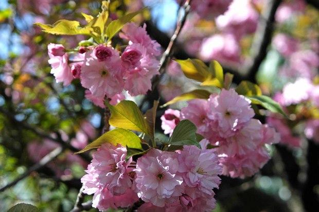 庭の八重桜_3.jpg