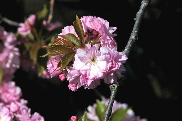 庭の八重桜_4.jpg