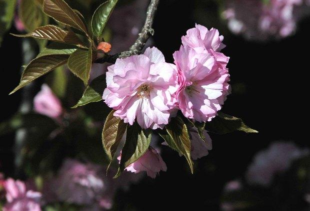 庭の八重桜_5.jpg