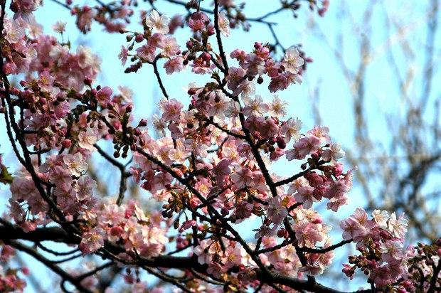 新宿御苑の早咲きの桜と梅2018_2.jpg
