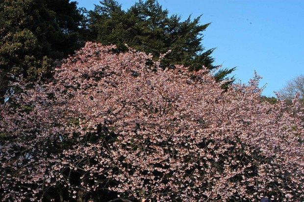 新宿御苑の早咲きの桜と梅2018_3.jpg