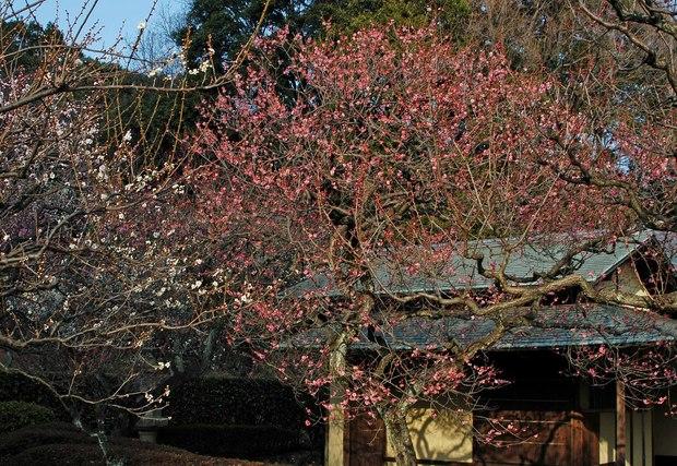 新宿御苑の早咲きの桜と梅2018_5.jpg