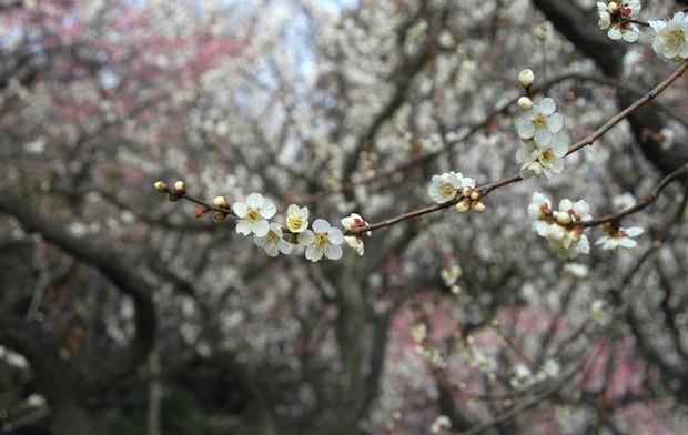 新宿御苑の早咲きの桜と梅2018_6.jpg