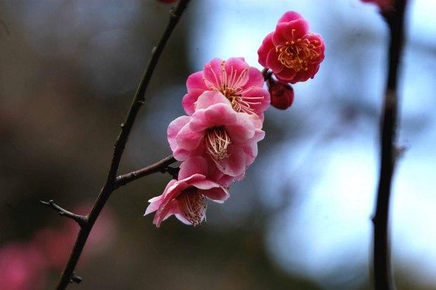 新宿御苑の早咲きの桜と梅2018_7.jpg