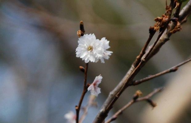 新宿御苑の早春の花_3.jpg