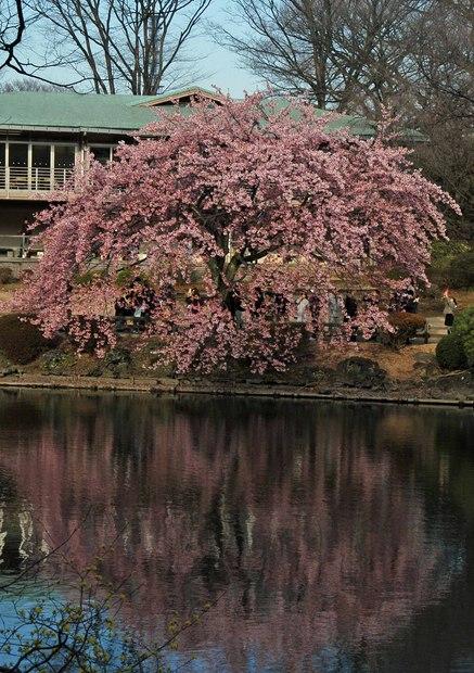 新宿御苑の早春の花_8.jpg