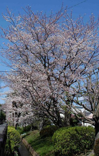 春爛漫_1.jpg