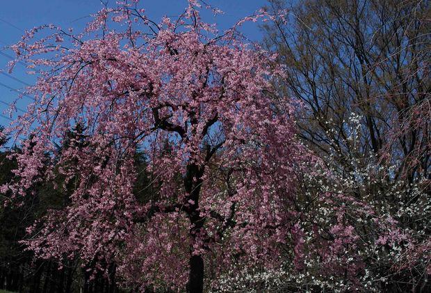 春爛漫_12.jpg