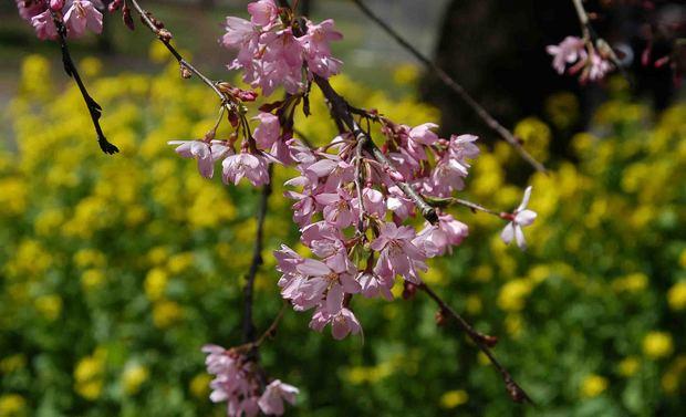 春爛漫_13.jpg