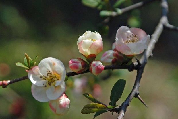 近所の春の花たち2017_11.jpg