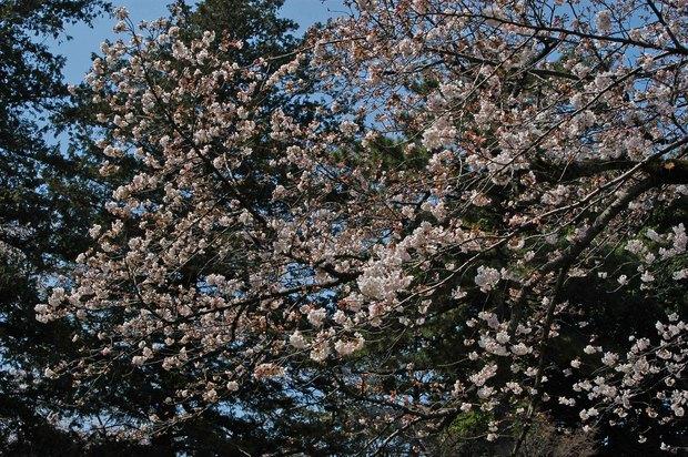 近所の春の花たち2017_12.jpg