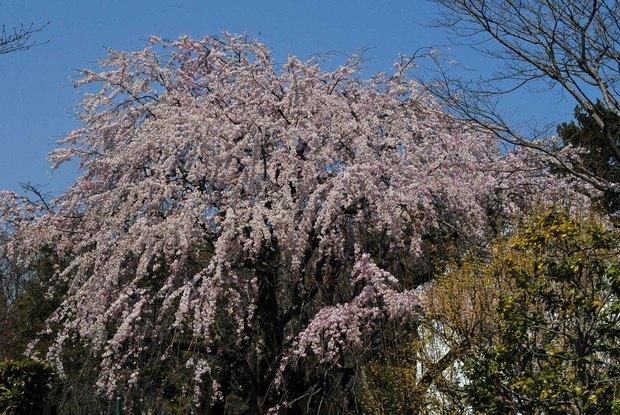 近所の春の花たち2017_13.jpg