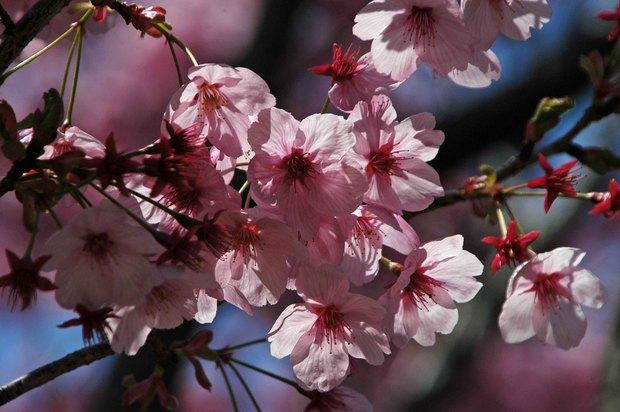 近所の春の花たち2017_15.jpg