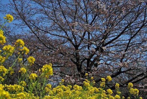 近所の春の花たち2017_16.jpg