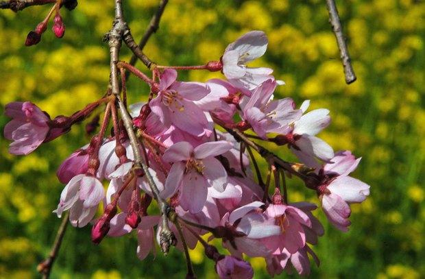 近所の春の花たち2017_17.jpg