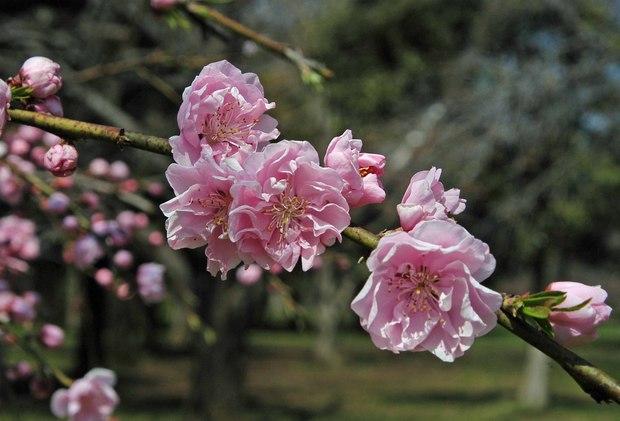 近所の春の花たち2017_4.jpg