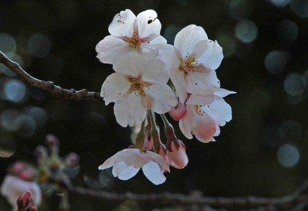 近所の春の花たち2017_8.jpg