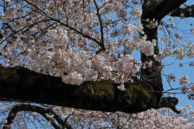 近所の春の花たち2017_9.jpg