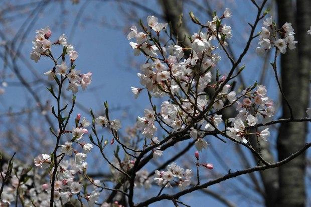 2019.3.22_小金井公園_11.jpg