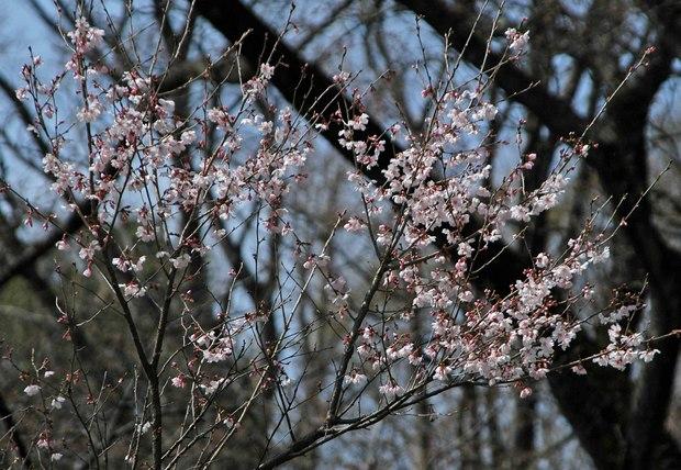 2019.3.22_小金井公園_16.jpg