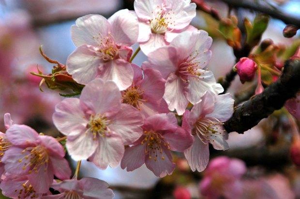 新宿御苑の早咲きの桜と梅2018_1.jpg