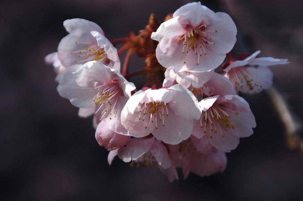 新宿御苑の早咲きの桜と梅2018_4.jpg
